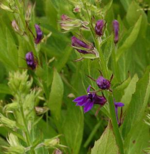 Prachtlobelie Fan-Blue - Lobelia speciosa - Vorschau