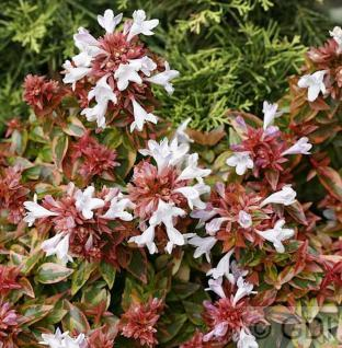 Abelia Francis Mason 80-100cm - Abelia grandiflora - Vorschau
