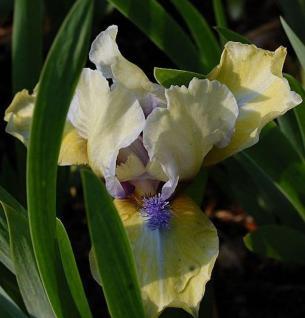 Zwergschwertlilie Stockholm - Iris barbata - Vorschau