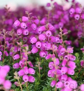 10x Irische Heide Glamour - Daboecia cantabrica - Vorschau