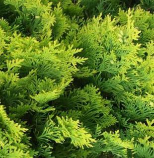 Lebensbaum Golden Smaragd 40-60cm Thuja occidentalis - Vorschau