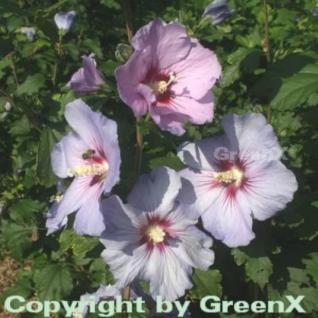 Rosen-Eibisch Pink Giant 60-80cm - Hibiscus syriacus - Vorschau