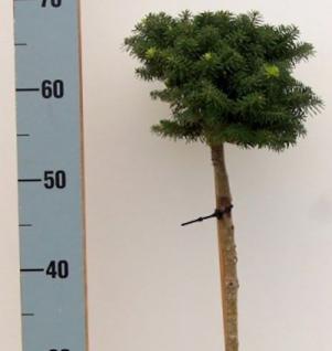 Hochstamm Zwerg Koreatanne Cis 40-60cm - Abies koreana - Vorschau