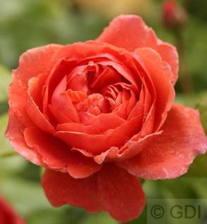 Englische Rose Summer Song® 30-60cm - Vorschau