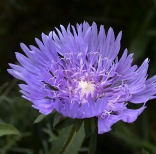 Kornblumenaster Blue Star - Stokesia laevis - Vorschau