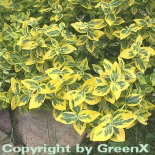 Goldbunte Kriechspindel Emerald Gold 15-20cm - Euonymus fortunei - Vorschau
