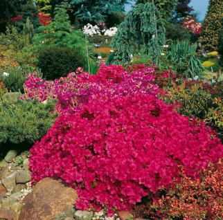 Japanische Azalee Purpurkissen® 15-20cm - Rhododendron obtusum - Zwerg Alpenrose - Vorschau