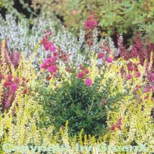 10x Irische Heide Arielle - Daboecia cantabrica - Vorschau