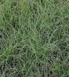 Segge Frosted Curls - Carex comans - Vorschau