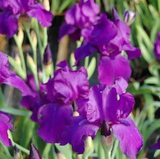 Schwertlilie Matinata - Iris barbata - Vorschau