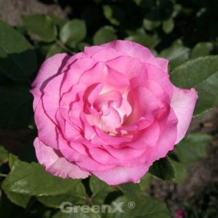 Hochstamm Rose Beverley® 60-80cm - Vorschau