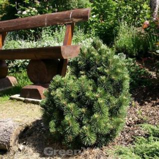 Hakenkiefer 30-40cm - Pinus uncinata - Vorschau