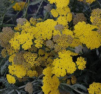 Goldquirlgarbe - Achillea clypeolata - Vorschau