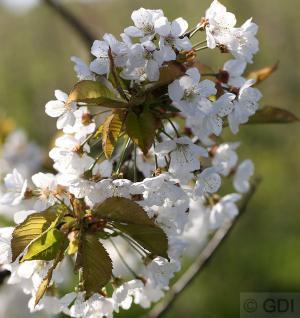 Vogelkirsche Sußkirsche 60-80cm - Prunus avium - Vorschau