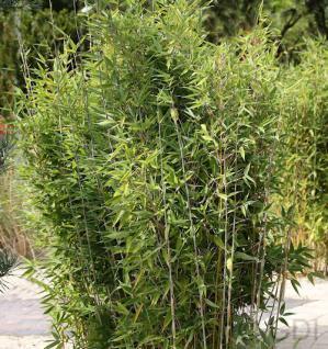 Gartenbambus Obelisk® 100-125cm - Fargesia nitida - Vorschau