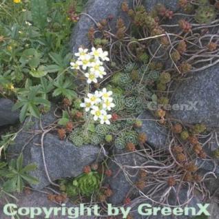 Immergrüner Steinbrech - Saxifraga paniculata - Vorschau