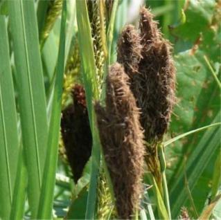 Ufersegge - Carex riparia - Vorschau