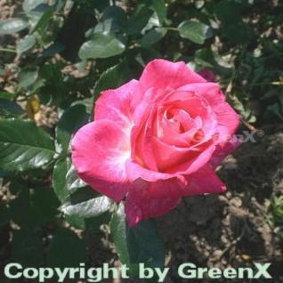 Edelrose Rose Gaujard 30-60cm - Vorschau