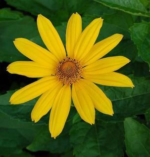 Sonnenauge Hohlspiegel - Heliopsis scabra - Vorschau