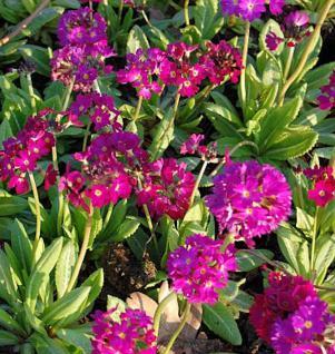 Kugelprimel Rubin - Primula denticulata - Vorschau