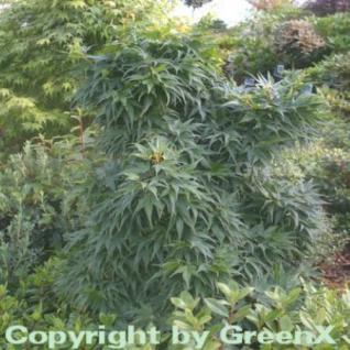 Fächerahorn Mikawa Yatsubusa 30-40cm - Acer palmatum - Vorschau