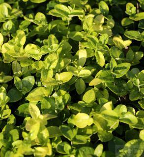 Kleinblättriges Immergrün Grüner Teppich - Vinca minor - Vorschau