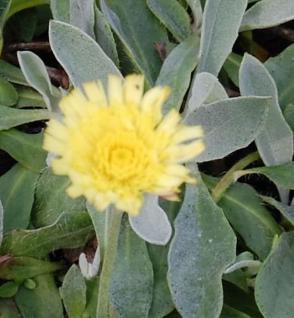 Silberblättriges Mausohr Niveum - Hieracium pilosella - Vorschau