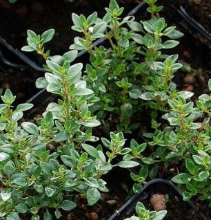 Echter Zitronen Thymian Lemon - Thymus citriodorus - Vorschau