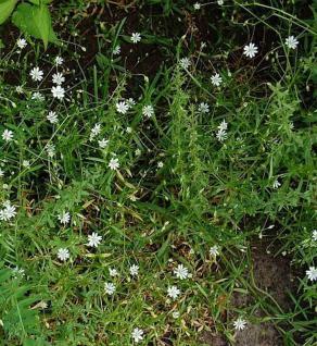 Große Sternmiere - Stellaria holostea - Vorschau
