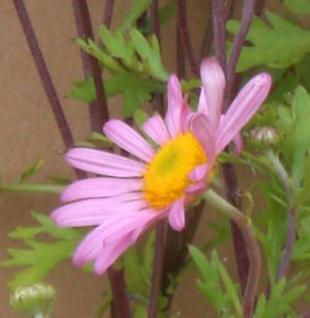 Herbstaster Clara Curtis - Chrysanthemum zawadskii - Vorschau