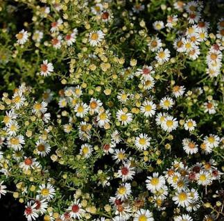 Myrtenaster Weißer Zwerg - Aster ericoides - Vorschau