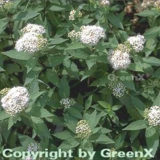 10x Weiße Zwergspiere 15-20cm - Spiraea japonica - Vorschau