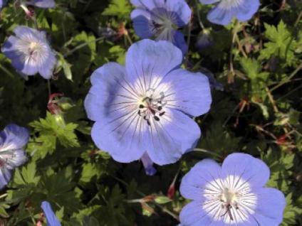 Wiesen Storchschnabel Rozanne - großer Topf - Geranium pratense - Vorschau