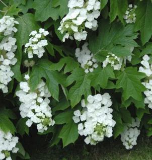 Eichenblättrige Hortensie Black Porch 30-40cm - Hydrangea quercifolia - Vorschau