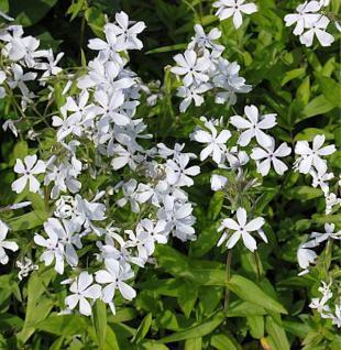 Niedrige Flammenblume White Perfume - Phlox divaricata - Vorschau
