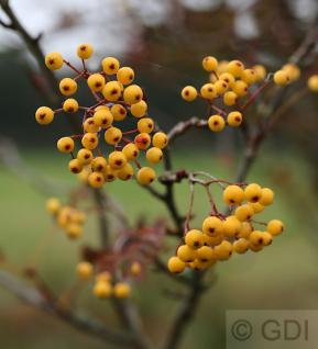 Eberesche Golden Wonder 100-125cm - Sorbus arnoldiana - Vorschau