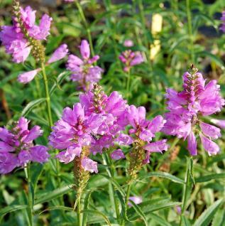 Gelenkblume Bouquet Rose - Physostegia virginiana - Vorschau