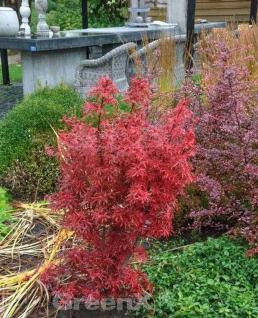 Zwergahorn Shaina 125-150cm - Acer palmatum - Vorschau