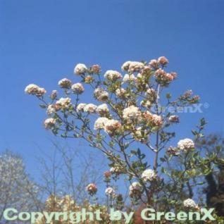 Osterschneeball Anne Russell 30-40cm - Viburnum burkwoodii - Vorschau