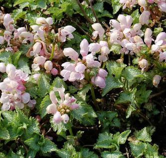 Waldnessel Shell Pink - Lamium maculatum - Vorschau