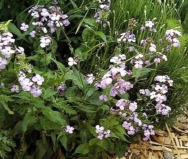 Silberling - Lunaria annua - Vorschau