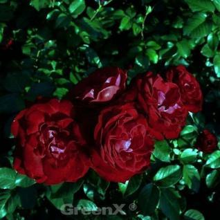 Hochstamm Rose Lübecker Rotspon® 60-80cm - Vorschau