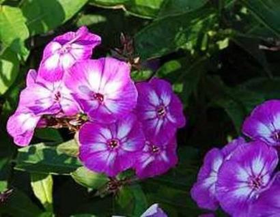Hohe Flammenblume Uspech - Phlox Paniculata - Vorschau