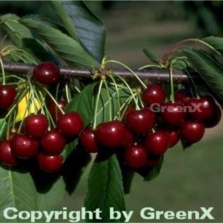 Süßkirsche Große Schwarze Knorpel 60-80cm - dunkelrote süße Früchte - Vorschau