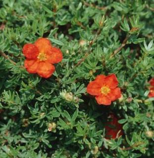 10x Kleiner Spierstrauch Red Joker - Potentilla fruticosa - Vorschau