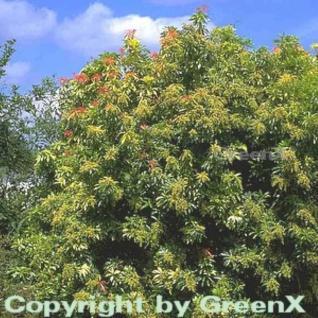 Schattenglöckchen Lavendelheide Forest Flame 30-40cm - Pieris japonica - Vorschau
