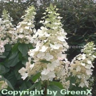 Rispenhortensie Kyushu 40-60cm - Hydrangea paniculata - Vorschau