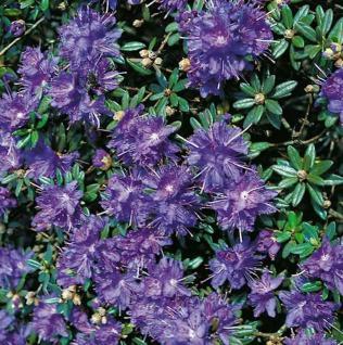 Zwerg Rhododendron Azurika 20-25cm - Rhododendron impeditum - Zwerg Alpenrose - Vorschau