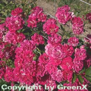 Hochstamm Rose Super Excelsa® 60-80cm - Vorschau