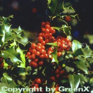 Dornige Stechpalme Ilex 100-125cm - ilex aquifolium - Vorschau
